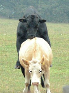 Bull_and_Cow_-_mating2
